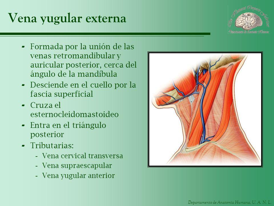 Departamento de Anatomía Humana, U. A. N. L. Vena yugular externa - Formada por la unión de las venas retromandibular y auricular posterior, cerca del