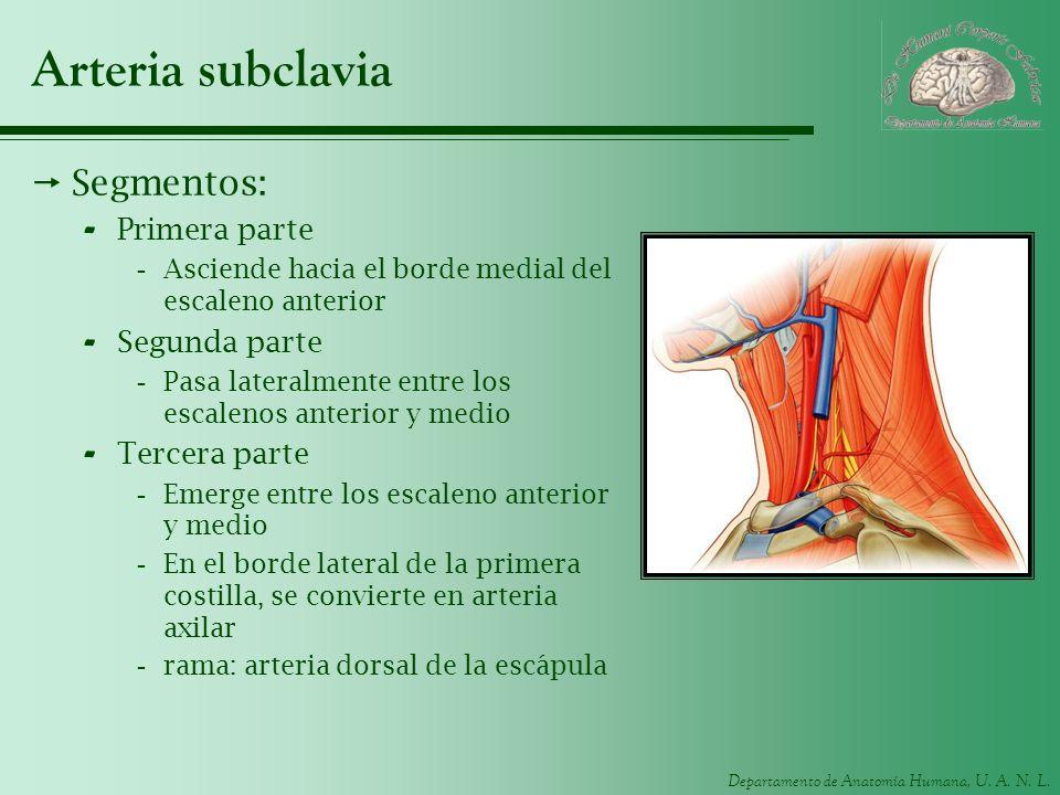 Departamento de Anatomía Humana, U. A. N. L. Arteria subclavia Segmentos: - Primera parte -Asciende hacia el borde medial del escaleno anterior - Segu