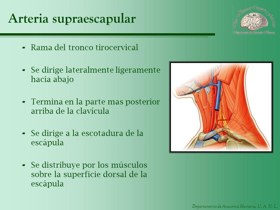 Departamento de Anatomía Humana, U. A. N. L. Arteria supraescapular - Rama del tronco tirocervical - Se dirige lateralmente ligeramente hacia abajo -