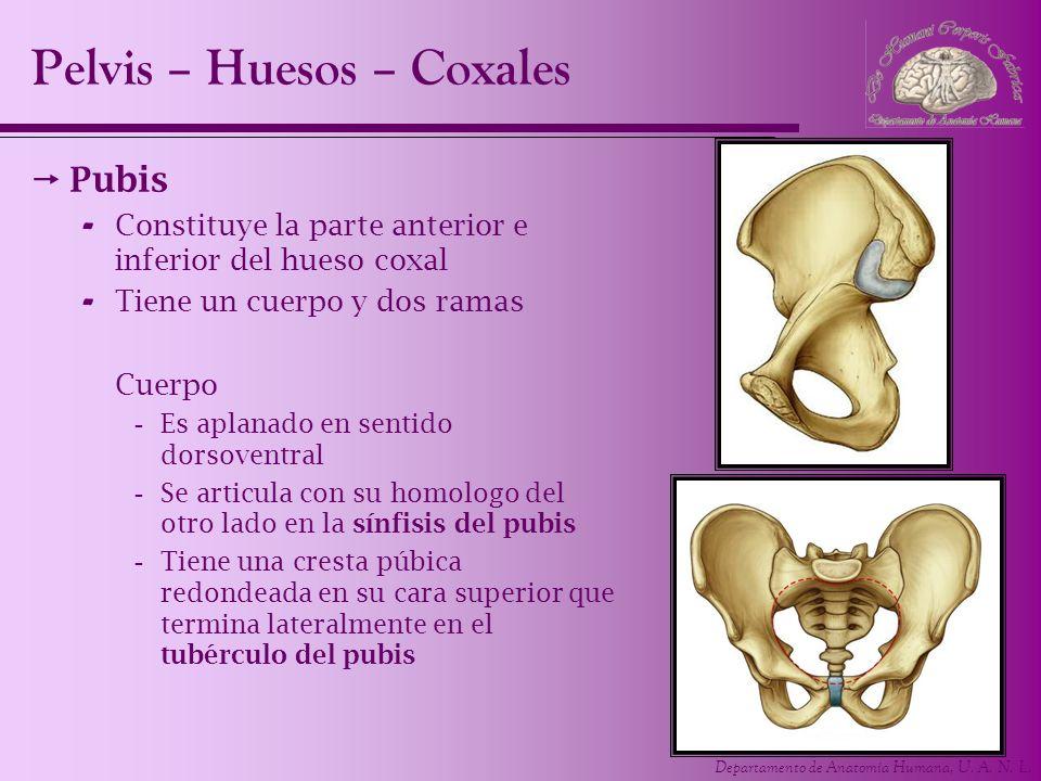 Departamento de Anatomía Humana, U. A. N. L. Pubis - Constituye la parte anterior e inferior del hueso coxal - Tiene un cuerpo y dos ramas Cuerpo -Es