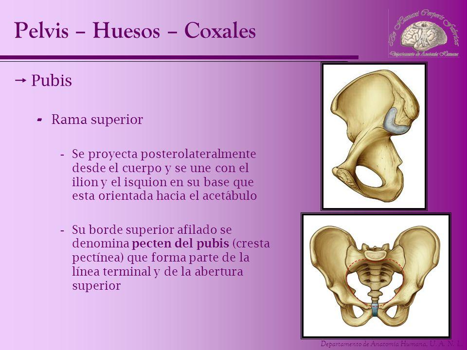 Departamento de Anatomía Humana, U. A. N. L. Pubis - Rama superior -Se proyecta posterolateralmente desde el cuerpo y se une con el ilion y el isquion