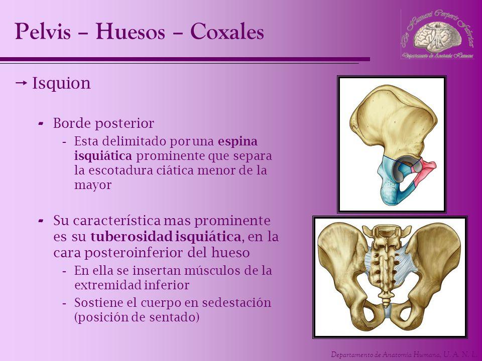 Departamento de Anatomía Humana, U. A. N. L. Isquion - Borde posterior -Esta delimitado por una espina isquiática prominente que separa la escotadura