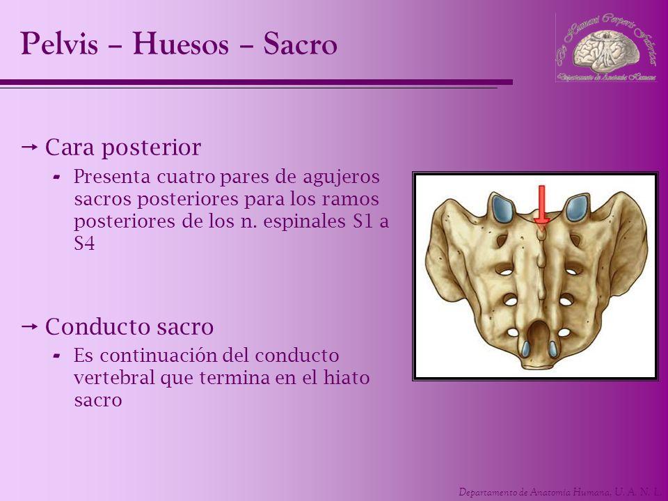 Departamento de Anatomía Humana, U. A. N. L. Cara posterior - Presenta cuatro pares de agujeros sacros posteriores para los ramos posteriores de los n