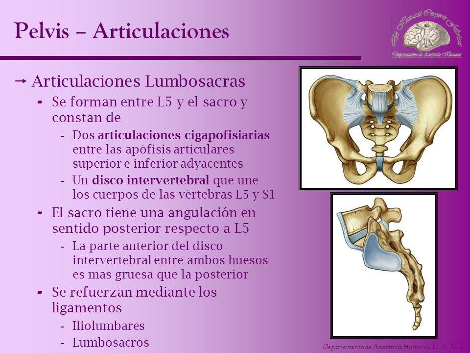 Departamento de Anatomía Humana, U. A. N. L. Articulaciones Lumbosacras - Se forman entre L5 y el sacro y constan de -Dos articulaciones cigapofisiari
