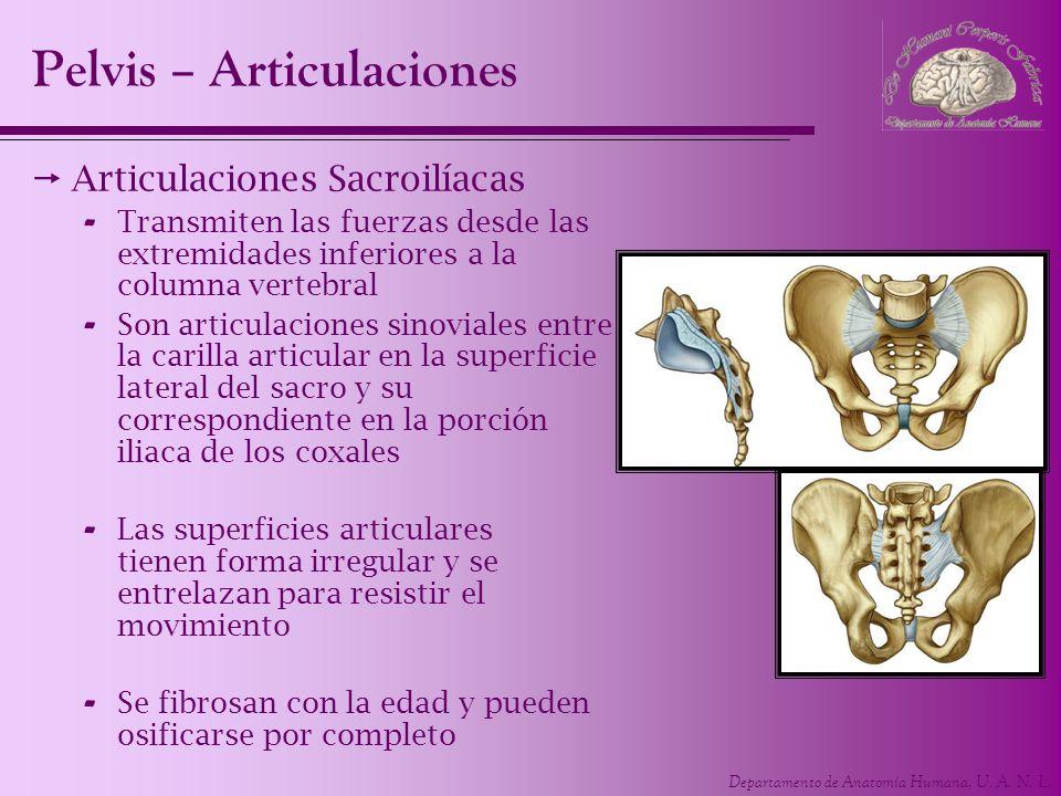 Departamento de Anatomía Humana, U. A. N. L. Articulaciones Sacroilíacas - Transmiten las fuerzas desde las extremidades inferiores a la columna verte