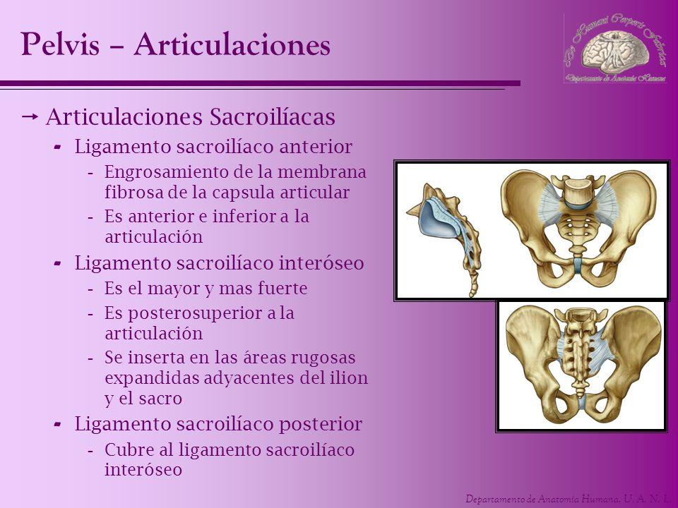 Departamento de Anatomía Humana, U. A. N. L. Articulaciones Sacroilíacas - Ligamento sacroilíaco anterior -Engrosamiento de la membrana fibrosa de la