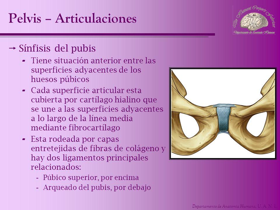 Departamento de Anatomía Humana, U. A. N. L. Sínfisis del pubis - Tiene situación anterior entre las superficies adyacentes de los huesos púbicos - Ca