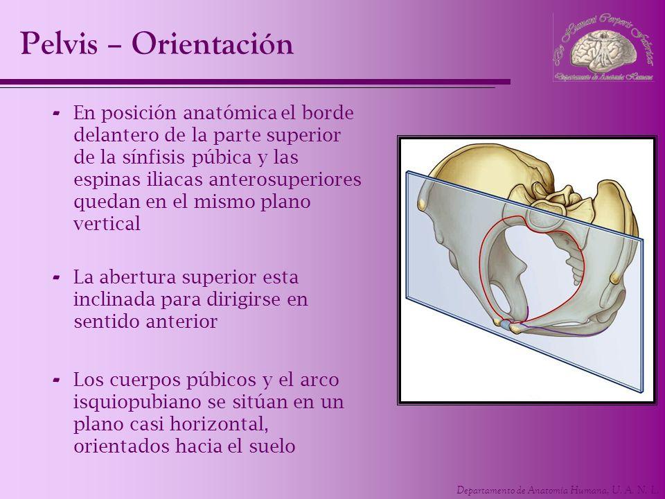 Departamento de Anatomía Humana, U. A. N. L. Pelvis – Orientación - En posición anatómica el borde delantero de la parte superior de la sínfisis púbic