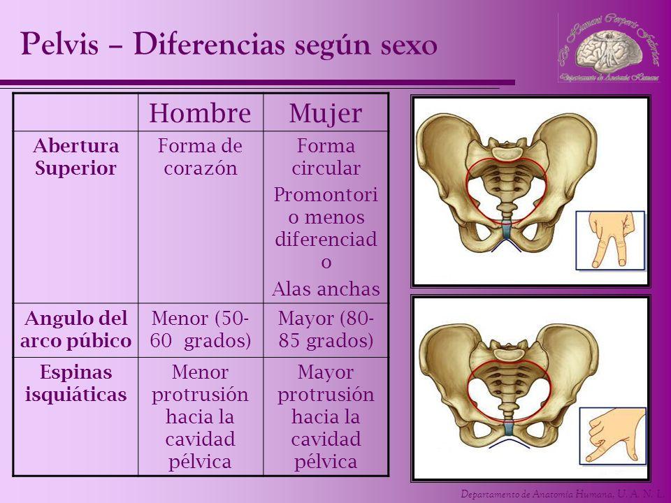 Departamento de Anatomía Humana, U. A. N. L. Pelvis – Diferencias según sexo HombreMujer Abertura Superior Forma de corazón Forma circular Promontori