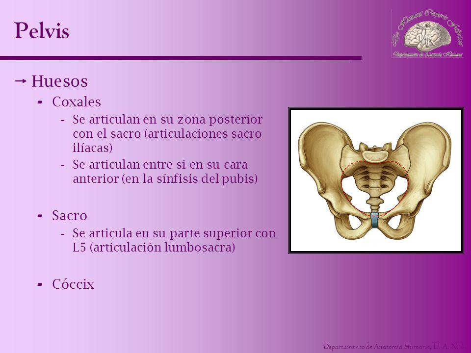 Departamento de Anatomía Humana, U. A. N. L. Pelvis Huesos - Coxales -Se articulan en su zona posterior con el sacro (articulaciones sacro ilíacas) -S