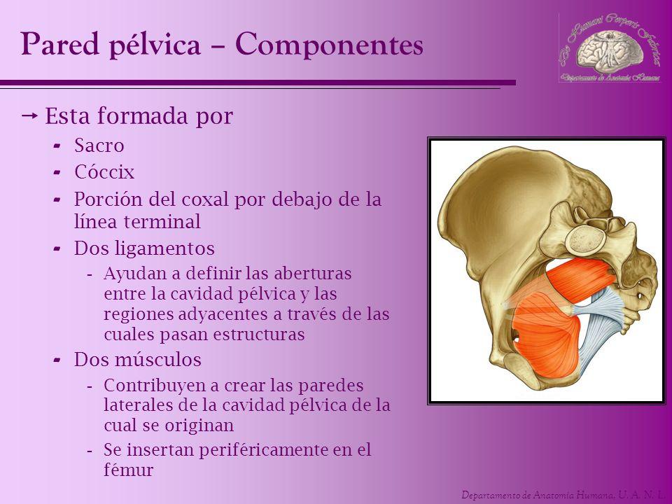Departamento de Anatomía Humana, U. A. N. L. Pared pélvica – Componentes Esta formada por - Sacro - Cóccix - Porción del coxal por debajo de la línea