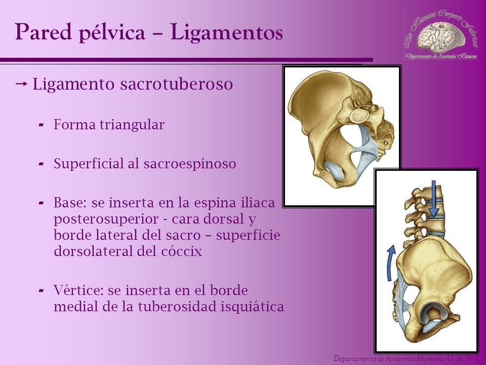 Departamento de Anatomía Humana, U. A. N. L. Pared pélvica – Ligamentos Ligamento sacrotuberoso - Forma triangular - Superficial al sacroespinoso - Ba