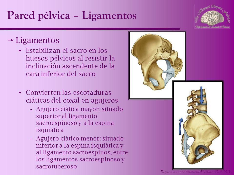 Departamento de Anatomía Humana, U. A. N. L. Pared pélvica – Ligamentos Ligamentos - Estabilizan el sacro en los huesos pélvicos al resistir la inclin