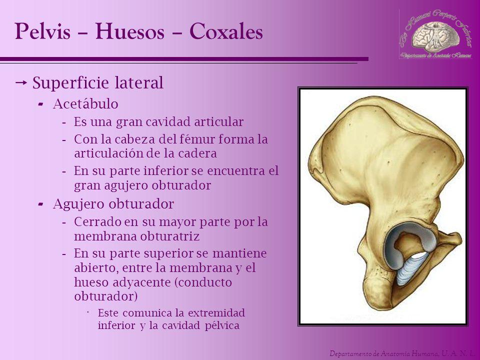 Departamento de Anatomía Humana, U. A. N. L. Superficie lateral - Acetábulo -Es una gran cavidad articular -Con la cabeza del fémur forma la articulac
