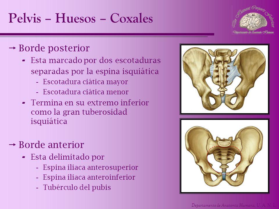Departamento de Anatomía Humana, U. A. N. L. Borde posterior - Esta marcado por dos escotaduras separadas por la espina isquiática -Escotadura ciática