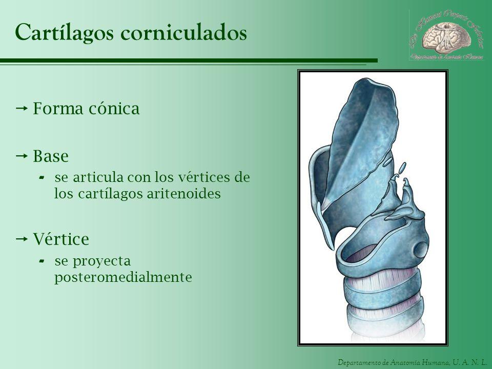 Departamento de Anatomía Humana, U. A. N. L. Cartílagos corniculados Forma cónica Base - se articula con los vértices de los cartílagos aritenoides Vé