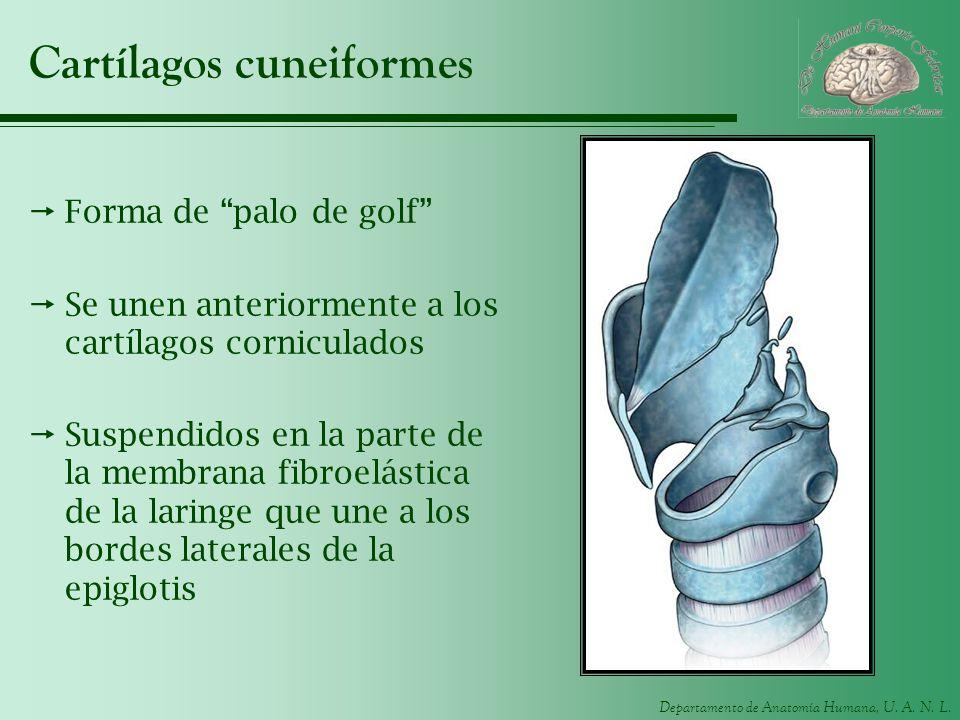 Departamento de Anatomía Humana, U. A. N. L. Cartílagos cuneiformes Forma de palo de golf Se unen anteriormente a los cartílagos corniculados Suspendi