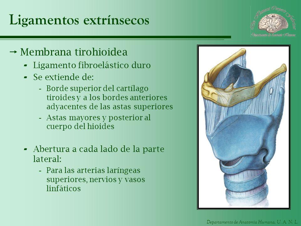 Departamento de Anatomía Humana, U. A. N. L. Ligamentos extrínsecos Membrana tirohioidea - Ligamento fibroelástico duro - Se extiende de: -Borde super