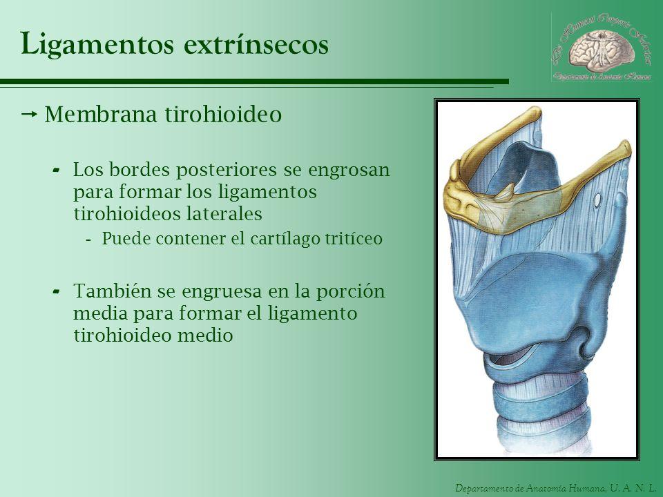 Departamento de Anatomía Humana, U. A. N. L. Ligamentos extrínsecos Membrana tirohioideo - Los bordes posteriores se engrosan para formar los ligament