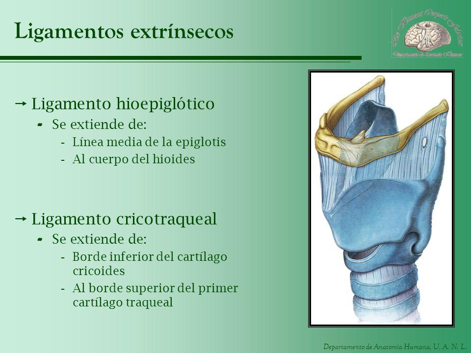 Departamento de Anatomía Humana, U. A. N. L. Ligamentos extrínsecos Ligamento hioepiglótico - Se extiende de: -Línea media de la epiglotis -Al cuerpo