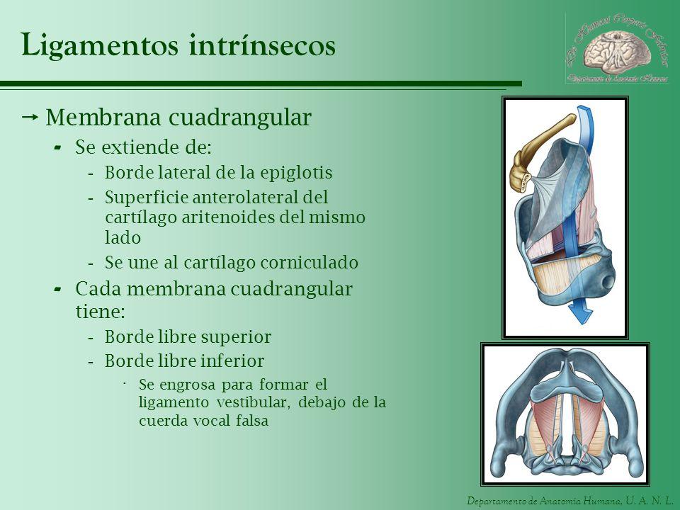 Departamento de Anatomía Humana, U. A. N. L. Ligamentos intrínsecos Membrana cuadrangular - Se extiende de: -Borde lateral de la epiglotis -Superficie