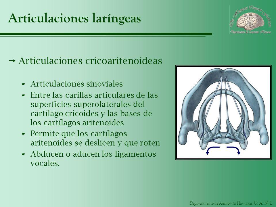 Departamento de Anatomía Humana, U. A. N. L. Articulaciones laríngeas Articulaciones cricoaritenoideas - Articulaciones sinoviales - Entre las carilla