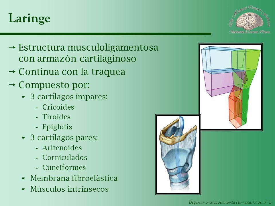 Departamento de Anatomía Humana, U. A. N. L. Laringe Estructura musculoligamentosa con armazón cartilaginoso Continua con la traquea Compuesto por: -