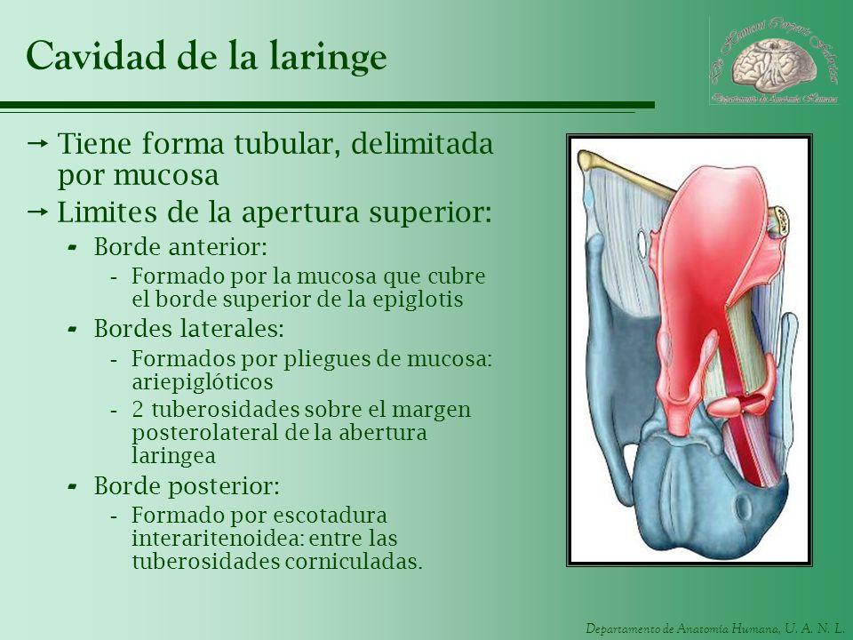 Departamento de Anatomía Humana, U. A. N. L. Cavidad de la laringe Tiene forma tubular, delimitada por mucosa Limites de la apertura superior: - Borde
