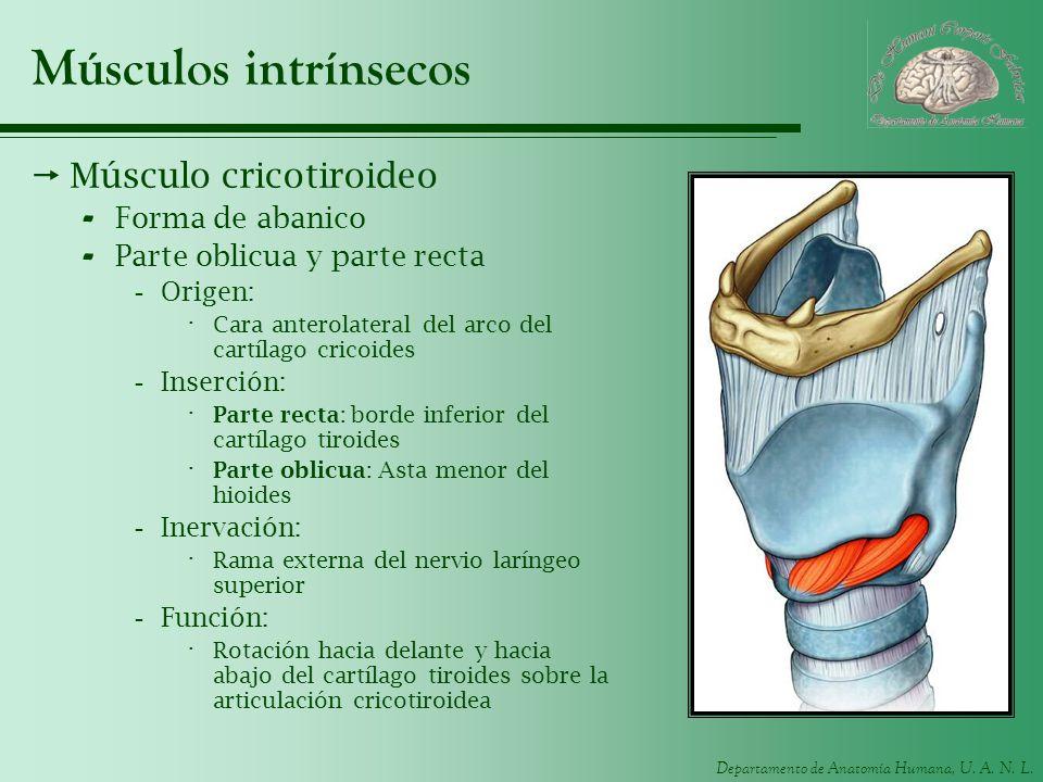 Departamento de Anatomía Humana, U. A. N. L. Músculos intrínsecos Músculo cricotiroideo - Forma de abanico - Parte oblicua y parte recta -Origen: · Ca