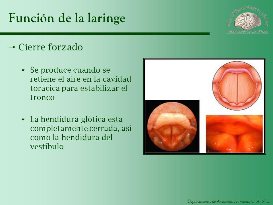 Departamento de Anatomía Humana, U. A. N. L. Función de la laringe Cierre forzado - Se produce cuando se retiene el aire en la cavidad torácica para e