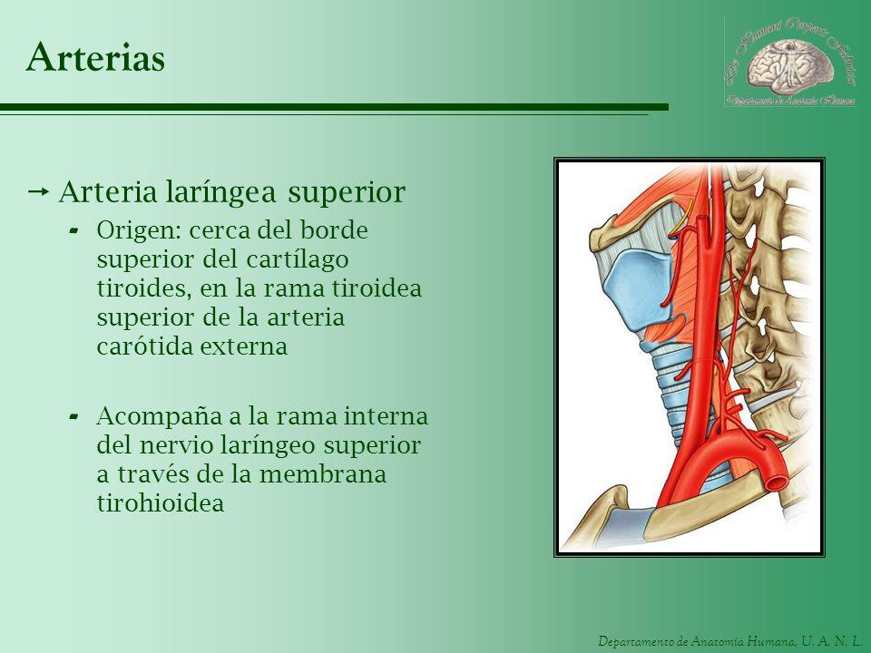 Departamento de Anatomía Humana, U. A. N. L. Arterias Arteria laríngea superior - Origen: cerca del borde superior del cartílago tiroides, en la rama