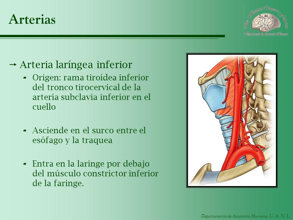 Departamento de Anatomía Humana, U. A. N. L. Arterias Arteria laríngea inferior - Origen: rama tiroidea inferior del tronco tirocervical de la arteria
