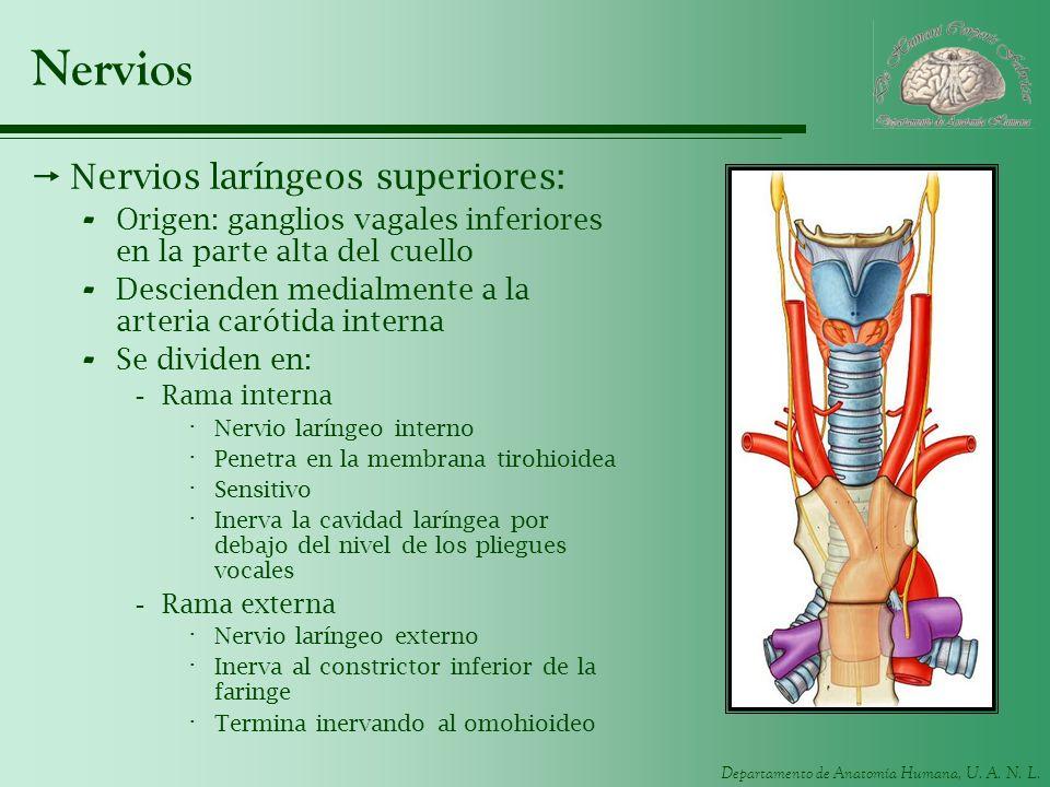 Departamento de Anatomía Humana, U. A. N. L. Nervios Nervios laríngeos superiores: - Origen: ganglios vagales inferiores en la parte alta del cuello -