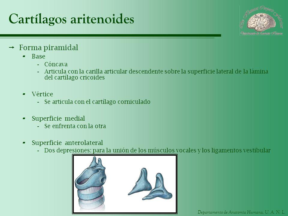 Departamento de Anatomía Humana, U. A. N. L. Cartílagos aritenoides Forma piramidal - Base -Cóncava -Articula con la carilla articular descendente sob