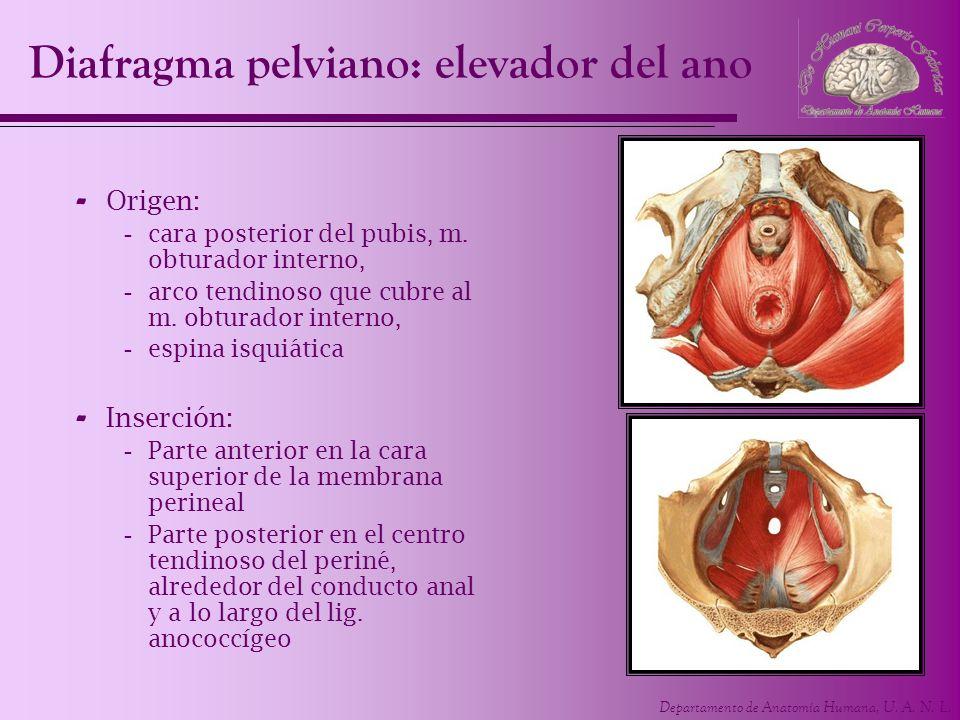 Departamento de Anatomía Humana, U. A. N. L. - Origen: -cara posterior del pubis, m. obturador interno, -arco tendinoso que cubre al m. obturador inte