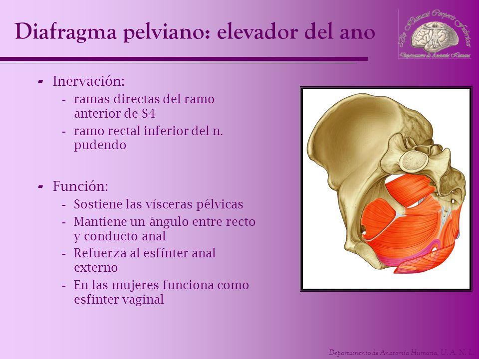 Departamento de Anatomía Humana, U. A. N. L. Diafragma pelviano: elevador del ano - Inervación: -ramas directas del ramo anterior de S4 -ramo rectal i