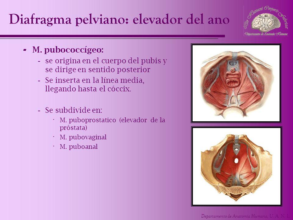 Departamento de Anatomía Humana, U. A. N. L. Diafragma pelviano: elevador del ano - M. pubococcígeo: -se origina en el cuerpo del pubis y se dirige en