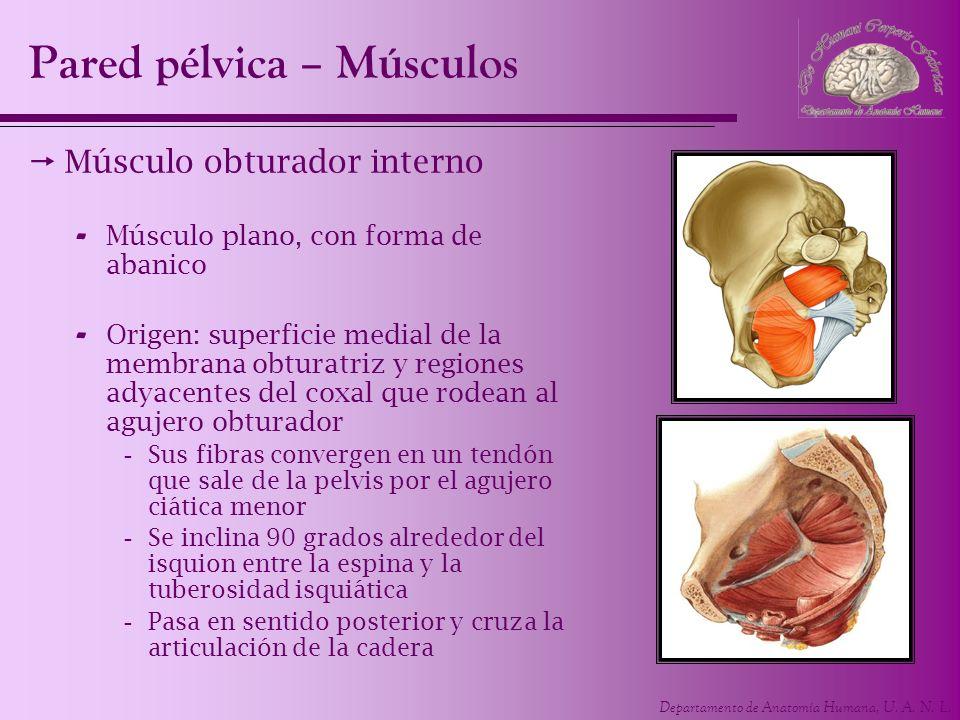 Departamento de Anatomía Humana, U. A. N. L. Pared pélvica – Músculos Músculo obturador interno - Músculo plano, con forma de abanico - Origen: superf