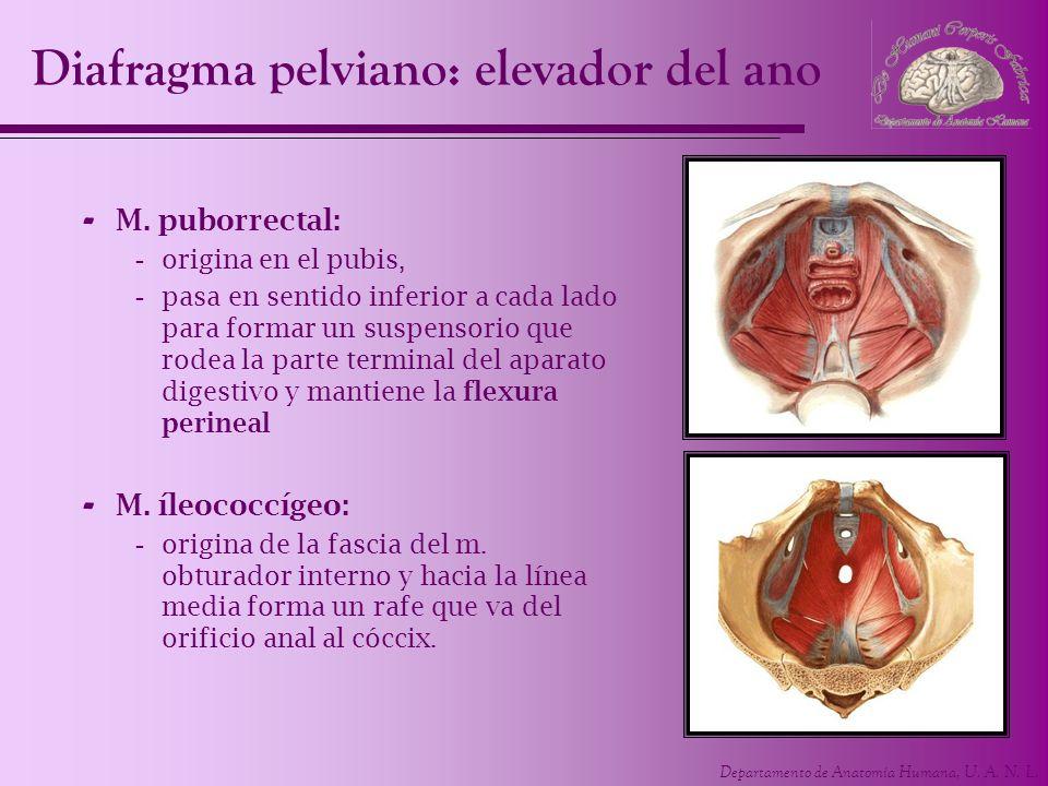 Departamento de Anatomía Humana, U. A. N. L. Diafragma pelviano: elevador del ano - M. puborrectal: -origina en el pubis, -pasa en sentido inferior a