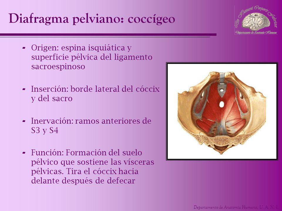 Departamento de Anatomía Humana, U. A. N. L. - Origen: espina isquiática y superficie pélvica del ligamento sacroespinoso - Inserción: borde lateral d