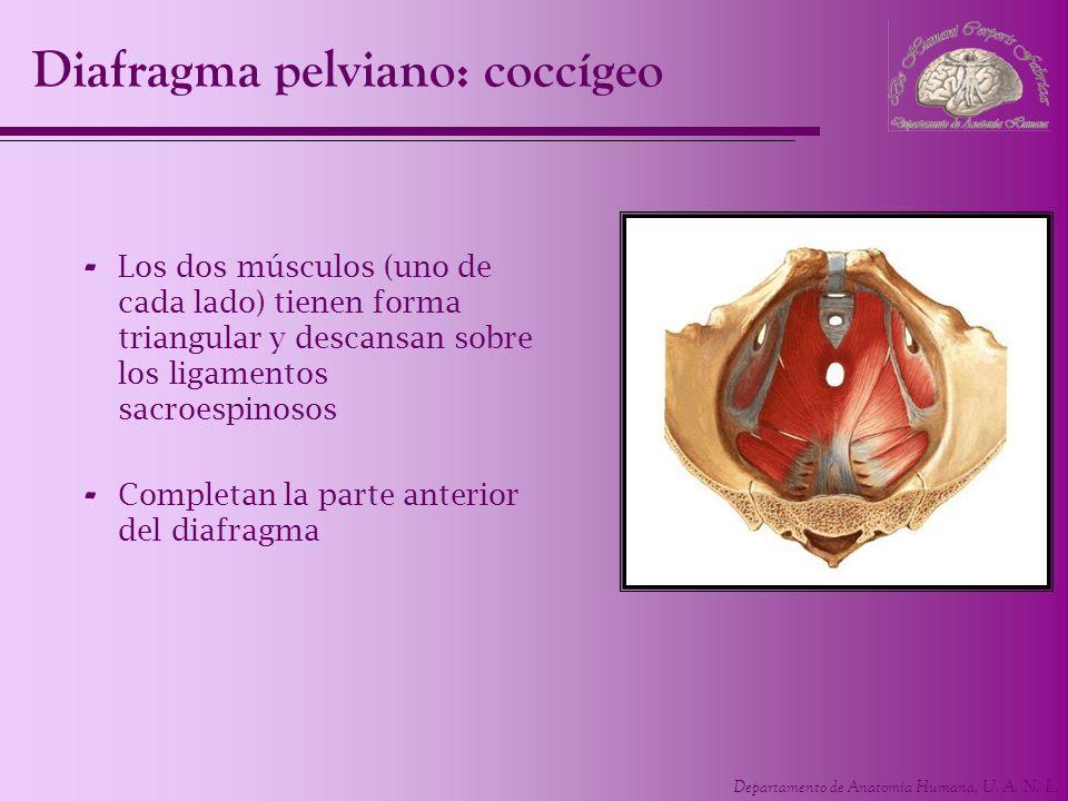 Departamento de Anatomía Humana, U. A. N. L. Diafragma pelviano: coccígeo - Los dos músculos (uno de cada lado) tienen forma triangular y descansan so