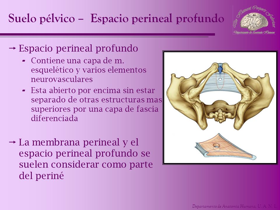 Departamento de Anatomía Humana, U. A. N. L. Espacio perineal profundo - Contiene una capa de m. esquelético y varios elementos neurovasculares - Esta