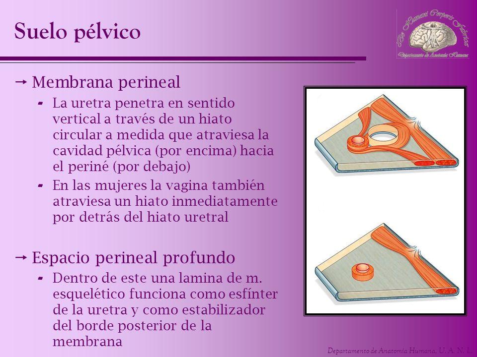 Departamento de Anatomía Humana, U. A. N. L. Suelo pélvico Membrana perineal - La uretra penetra en sentido vertical a través de un hiato circular a m
