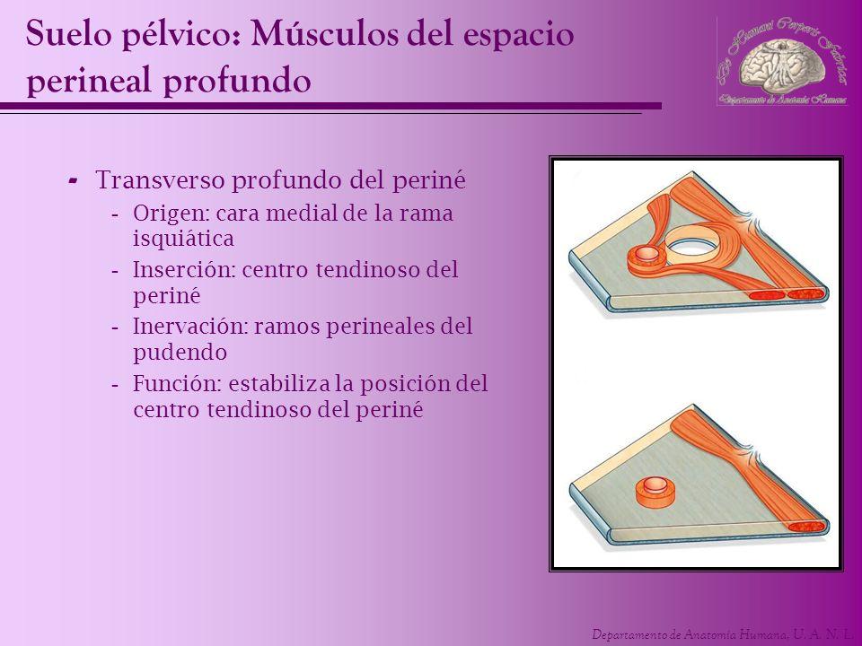 Departamento de Anatomía Humana, U. A. N. L. - Transverso profundo del periné -Origen: cara medial de la rama isquiática -Inserción: centro tendinoso