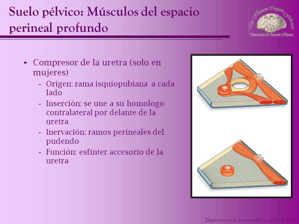 Departamento de Anatomía Humana, U. A. N. L. Suelo pélvico: Músculos del espacio perineal profundo - Compresor de la uretra (solo en mujeres) -Origen: