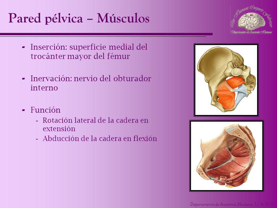 Departamento de Anatomía Humana, U. A. N. L. Pared pélvica – Músculos - Inserción: superficie medial del trocánter mayor del fémur - Inervación: nervi