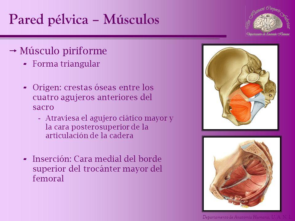 Departamento de Anatomía Humana, U. A. N. L. Pared pélvica – Músculos Músculo piriforme - Forma triangular - Origen: crestas óseas entre los cuatro ag