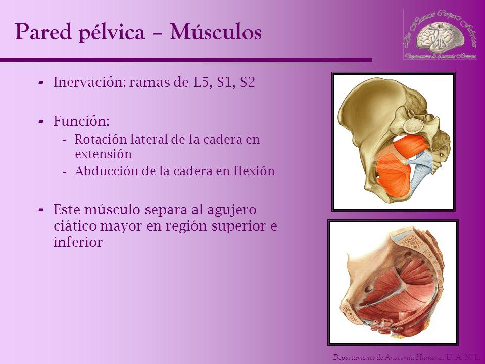 Departamento de Anatomía Humana, U. A. N. L. Pared pélvica – Músculos - Inervación: ramas de L5, S1, S2 - Función: -Rotación lateral de la cadera en e