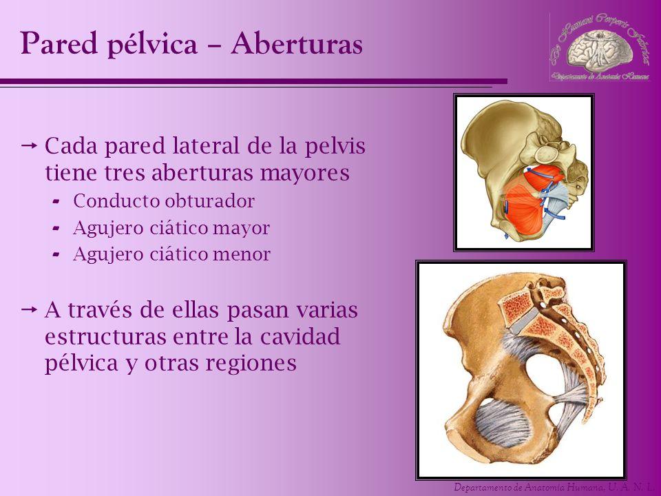 Departamento de Anatomía Humana, U. A. N. L. Pared pélvica – Aberturas Cada pared lateral de la pelvis tiene tres aberturas mayores - Conducto obturad