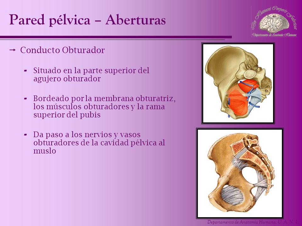 Departamento de Anatomía Humana, U. A. N. L. Pared pélvica – Aberturas Conducto Obturador - Situado en la parte superior del agujero obturador - Borde